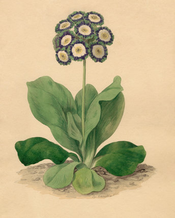 Oswald : Airs for the seasons - Auricula (Kbd) : illustration