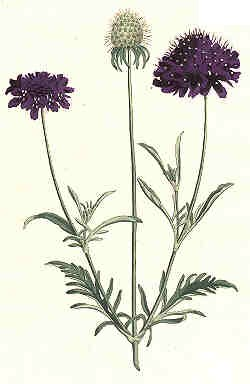 Oswald : Airs for the seasons - Scabious : illustration